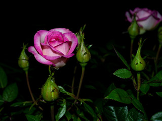 The rose queen of the garden at night