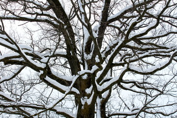 Mighty tree trunk with large branches completely covered in fresh winter snow on cold foggy winter day