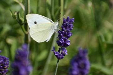 A beautiful white brimstone butterfly on a colorful lavender blossom