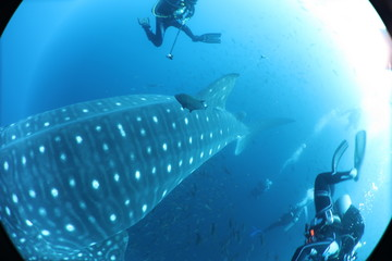 SCUBA diver with giant female whale shark in Darwin Island in the Galapagos Islands