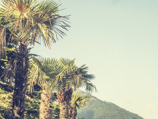 vintage style toned palm trees agains the sky and mountain