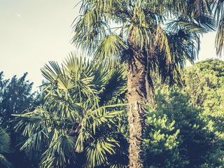 vintage toned palm trees forest against the summer tropical sky