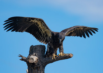 3-months old bald eagle eaglet landing, seen in the wild in  North California
