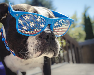 Boston Terrier Puppy Dog Wearing American Flag Glasses