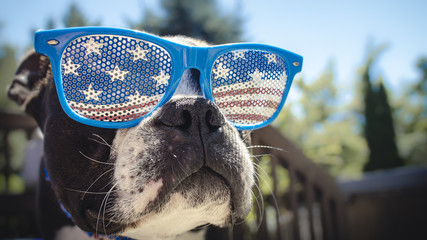 Cute Boston Terrier Dog July 4th Background