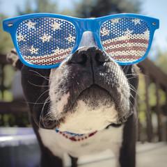 Boston Terrier Face Shot Wearing USA Flag Glasses