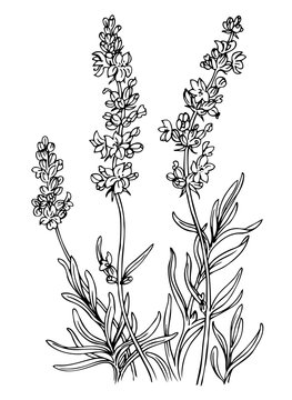 Lavender, outline black and white vector illustration.
