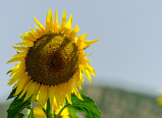 closeup on the flowers of a sunflower on a field full of flowers