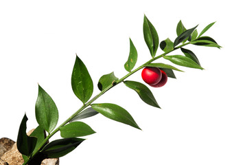 Butchers-broom stem with red fruit over white - Ruscus aculeatus Wall mural