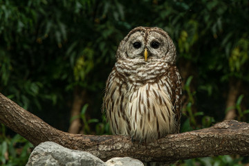 barred owl has spotted you