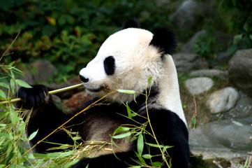 großer Panda beim Fressen von Bambus