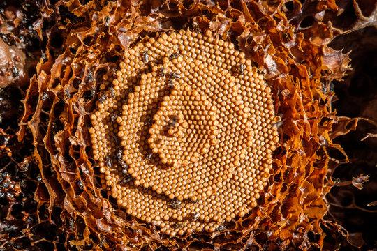 Native Australian Stingless bee hive and bees