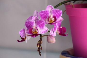 vaso di orchidea rosa con fiori