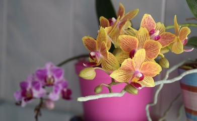 Photo Stands Orchid vasi di orchidee gialla e rosa