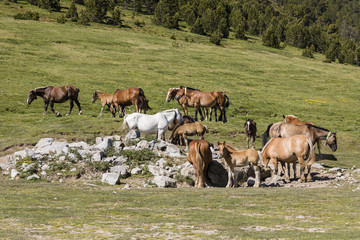 Wall Mural - Horses graze in a pasture in the Pyrenees in Andorra