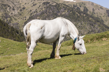 Wall Mural - A white horse stands in a meadow in the Pyrenees of Andorra and eats grass