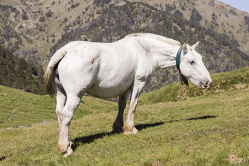 Wall Mural - A white horse stands in a meadow in the Pyrenees of Andorra