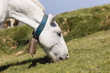Wall Mural - Closeup of a horse in the Pyrenees of Andorra carrying a bell around his neck and eating grass.