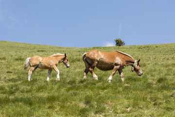Wall Mural - A mare and her foal walk across a meadow in the Pyrenees of Andorra