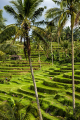 Visit a UNESCO Jatiluwih Rice Field in terraces, Bali, Indonesia