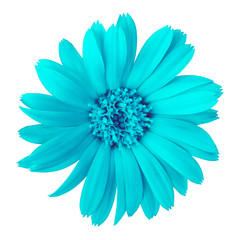 flower cyan calendula, isolated on a white  background. Close-up. Element of design.