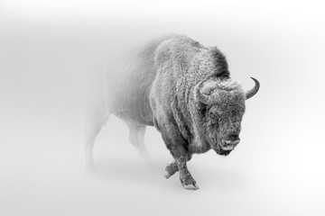 Spoed Fotobehang Buffel bison walking out of the mist greyscale image