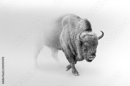 Wall mural bison walking out of the mist greyscale image