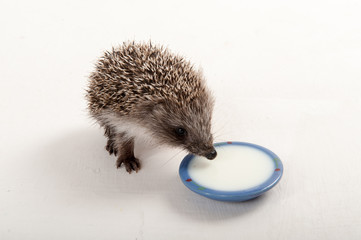 Funny young hedgehog is drinking milk from saucer in studio on isolated white background. Concept of healthy lifestyle in nature, the love of peace, respect for nature, childhood in the countryside