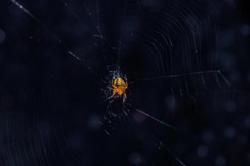 Petite araignée jaune mangeant sa proie