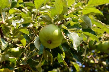 green apples and leaves on an apple tree