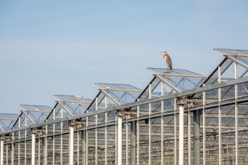 Blue heron on the roof of a glasshouse