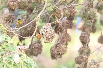 Village weaver or spotted-backed weaver or black-headed weaver (Ploceus cucullatus) in Ghana
