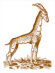 Cameleopard or giraffe (giraffa camelopardalis) standing in a landscape with grasses. Illustration after a historic woodcut engraving from the 16th century