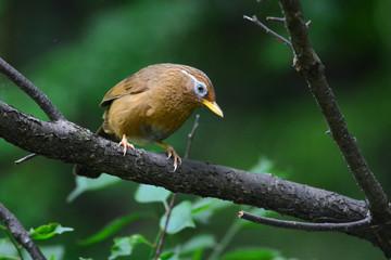 横浜の鳥 ガビチョウ
