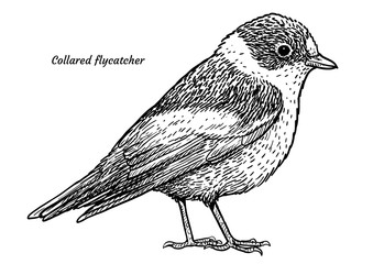 Collared flycatcher, Ficedula albicollis illustration, drawing, engraving, ink, line art, vector