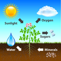 Photosynthesis diagram vector background