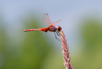 Crocothemis erythraea is a species of dragonfly in the family Libellulidae aka broad scarlet, common scarlet-darter, scarlet darter and scarlet dragonfly. Male in habitat.