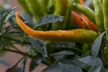 Nahaufnahme einer orange Chili-Pflanze
