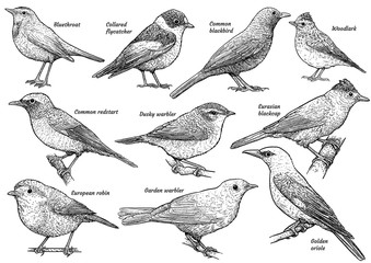 Songbird collection, illustration, drawing, engraving, ink, line art, vector