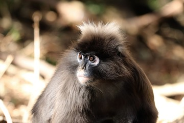 A picture of a young male Dusky Leaf Monkey(spectacled Langur) in a forest.
