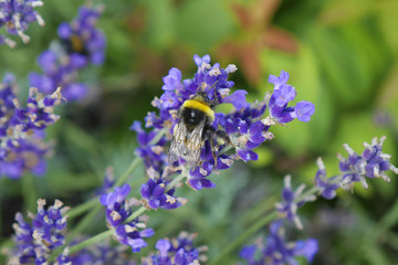 Bumble bee on a flower in garden.
