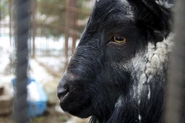 Portrait of an adult buffalo