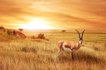 Spoed Foto op Canvas Antilope Lonely antelope (Eudorcas thomsonii) in the African savanna against a beautiful sunset. African landscape.