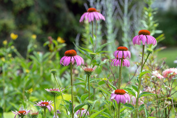Echinacea purpurea in the garden