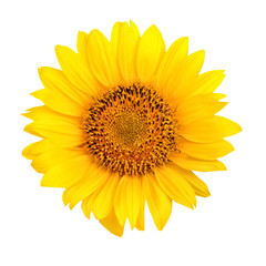 Beautiful sunflower on white background.
