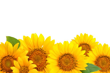 Wall Mural - Frame of sunflowers on a white background. Background with copy space.