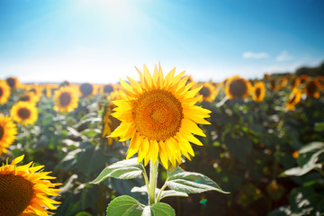 Wall Mural - Beautiful field of sunflowers. Rural landscapes under bright sunlight. Background of ripening sunflower. Rich harvest.