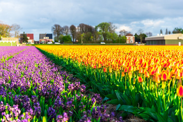 Poster Miel Flowers tulips field in Holland