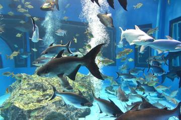 iridescent shark, mekong giant sutchi catfish