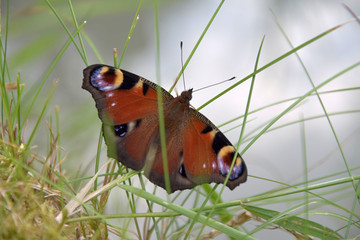 Aglais io, butterfly. Inachis io sitting on the grass with open wings